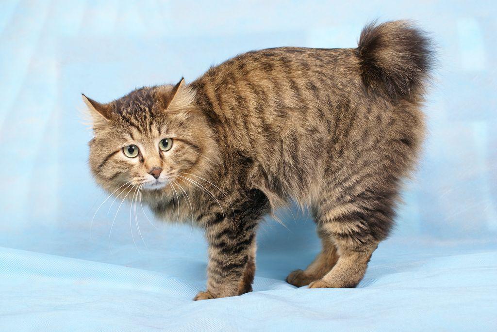 курильский бобтейл кошка фото цена