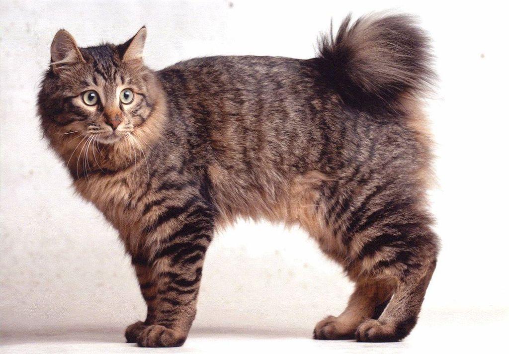 бобтейл курильский кошка фото